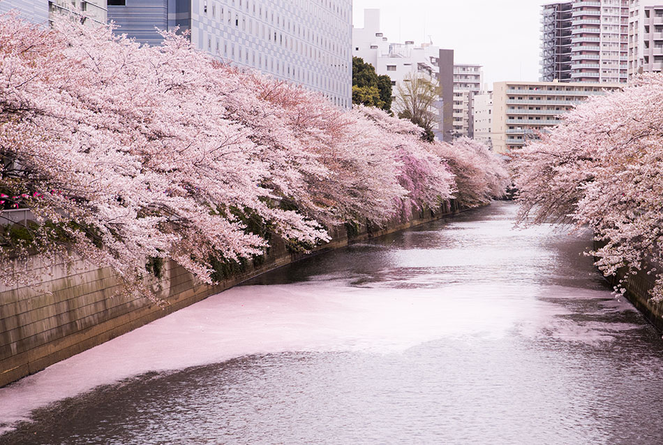 Sakura trees and petals on the Meguro river