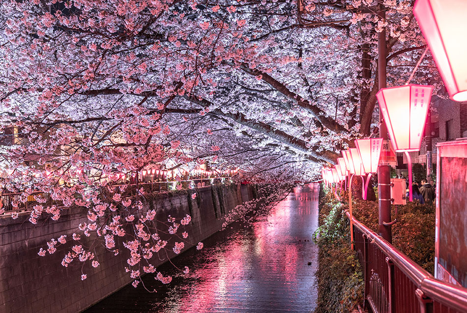 Meguro river sakura and lanterns at night