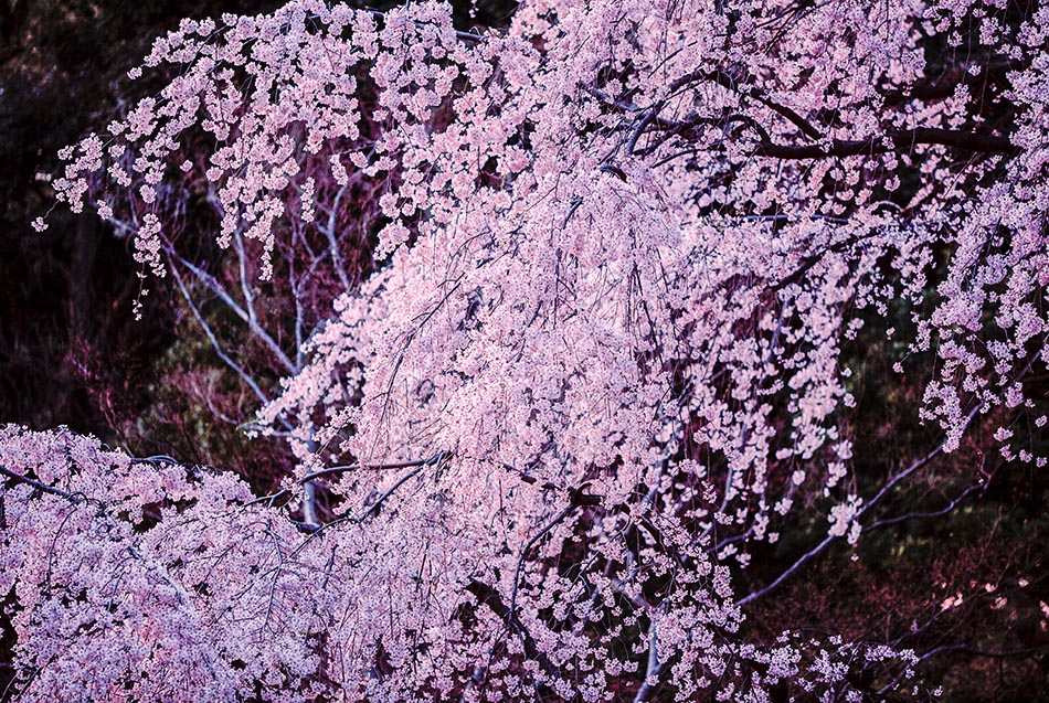 Weeping cherry blossoms in Rikugien Gardens