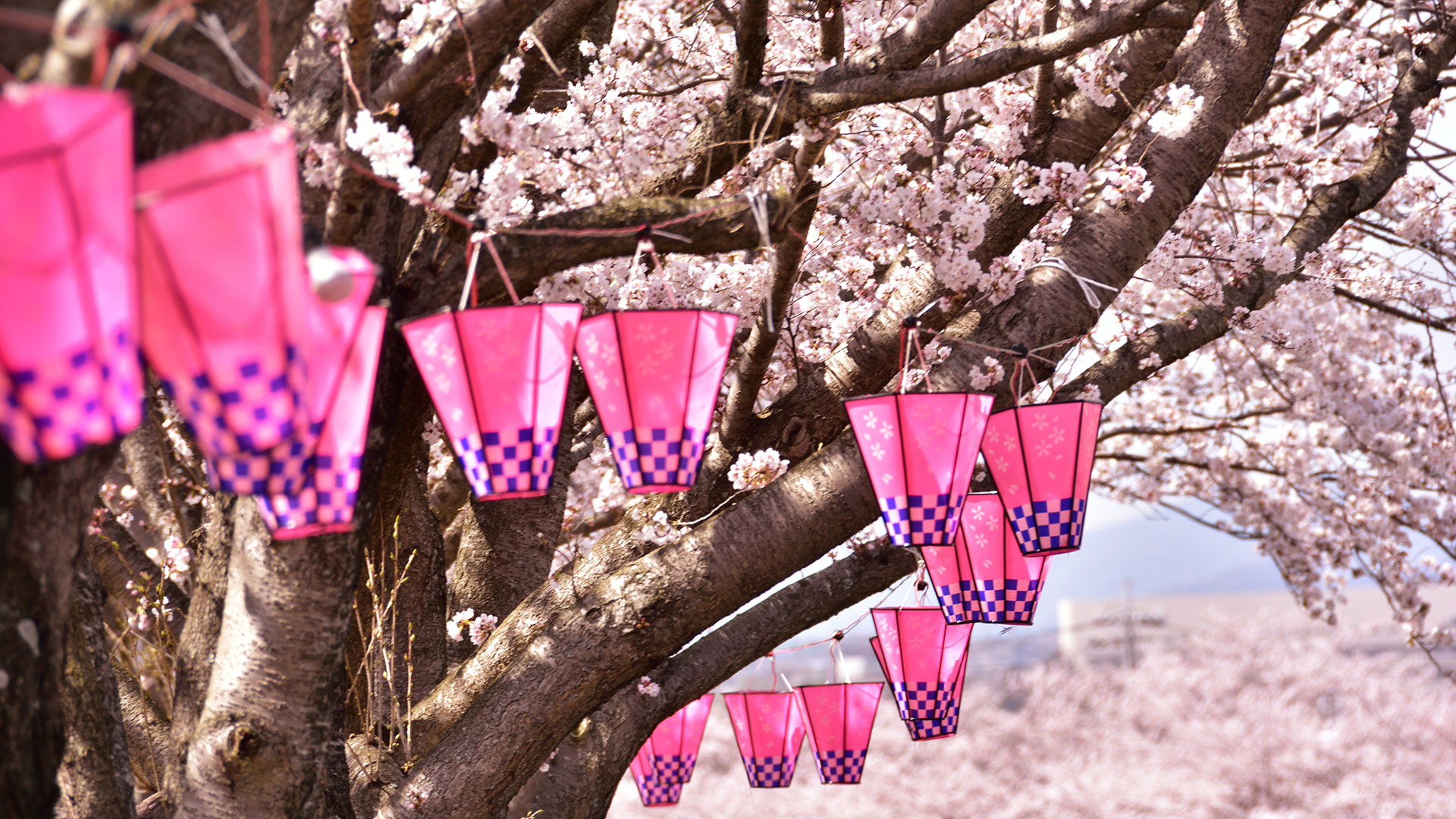 All You Need To Know About Sakura The Japanese Cherry Blossom